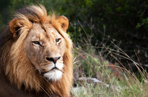 Lion are among the roamers of Balule Private Game Reserve.