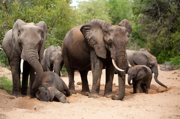 An elephant family sighting in Balule Game Reserve.