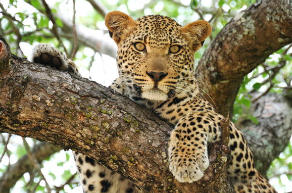 Leopard are among the wildlife of Balule Private Game Reserve.